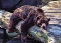 slumberingbear